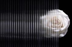 lenticular rose illusion