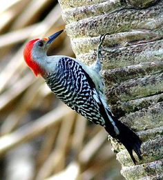 Adult Male Red-bellied Woodpecker. are pale, medium-sized woodpeckers common in forests of the East. Their strikingly barred backs and gleaming red caps make them an unforgettable sight