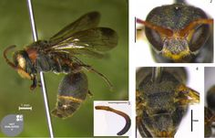 A new species of paper wasp has been discovered in India.