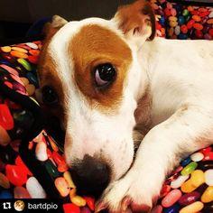 by @bartdpio  . . #jackrussell #jeckrussellterrier #cão #dog #petshop #petshoponline #dogsofinstagram #zeedog #petlove #americankennels #jackrussell #jeckrussellterrier #cão #dog #petshop #petshoponline #perrifotografo #perriphotographer #dogsofinstagram #disney #mickey #perro #chien #hund #cachorros #cachorrotudodebom #狗 #superdog #犬