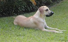 black mouth cur photo | Read about the Black Mouth Cur Dog, its history, size and more!