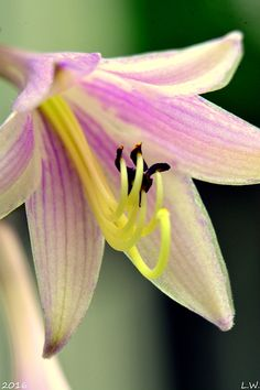 Hosta Flower by Lisa Wooten