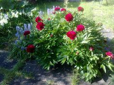 Peony 2010 bluebells and rhubarb
