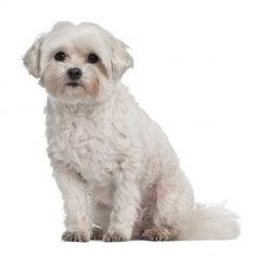 Il Coton de Tulear è un cane bello, elegante ed un gran pagliaccio. Ama giocare, far divertire e divertirsi e non di rado diventa compagno di giochi dei bambini con cui va molto d'accordo.