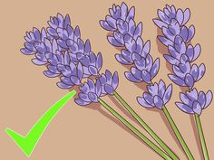 How to Harvest Lavender. Lavender is a beautiful flowering herb that grows in bushy shrubs that get larger each year. A full-grown lavender bush yields 7 - 8 bunches of lavender, which can then be dried and used in cooking or to make. Lavender Bush, Lavender Seeds, Growing Lavender, Lavender Garden, Lavender Flowers, Lavander, Herb Garden, Garden Plants, House Plants