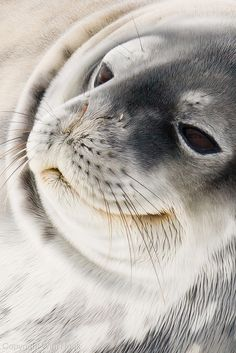 .AWWW...!  I want a seal as a pet.  How can you every be sad when you have someone smiling to you like this?