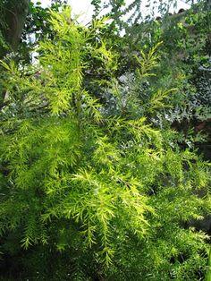 Melaleuca bracteata, golden  bottlebrush, black tea-tree