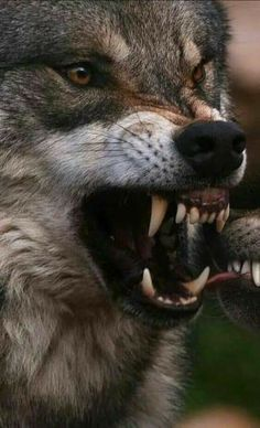 New Drawing Wolf Teeth Wolves Ideas Wolf Photos, Wolf Pictures, Wolf Spirit, Spirit Animal, Beautiful Wolves, Animals Beautiful, Tier Wolf, Wolf Hybrid, Angry Wolf