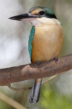 Sacred Kingfisher (Todiramphus sanctus) - Australia, New Zealand, and other parts of the western Pacific. All Birds, Little Birds, Love Birds, Exotic Birds, Colorful Birds, Pretty Birds, Beautiful Birds, Borneo, Australian Birds