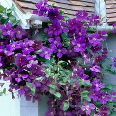 1000 images about climbing flowering vines on pinterest. Black Bedroom Furniture Sets. Home Design Ideas
