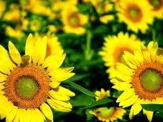 Thumbelina and her Giant Sunflowers | Grow Your Own Veg Blog ...