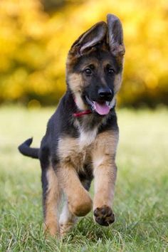 Is there any sweeter sight than your German shepherd puppy running to greet you?