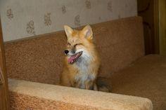 Лис Адисей приехал в гости. Fox