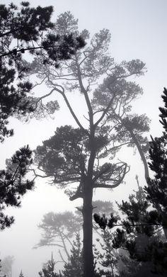 Foggy Pines IV - Pine trees shrouded in fog