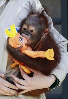 A zoo keeper holds baby orangutan Boo, a 9-month-old orphan, as it plays with a toy during a presentation at the Madrid Zoo & Aquarium April 14, 2011. (Photo credits: Reuters)
