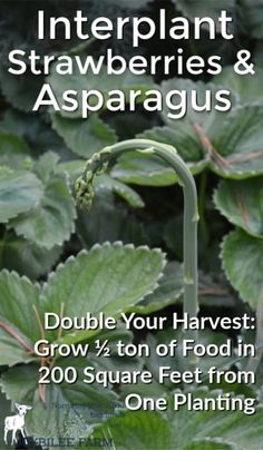 How to grow strawberries and asparagus in the same bed and double your yields without chemicals.A well-managed perennial bed will continue to produce for 20 or even 30 years. The sooner you plant them, the sooner you'll realize a harvest. Here's what you need to know to get the most from these easy to grow perennials.
