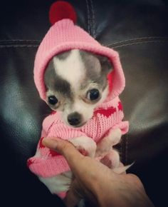 Effective Potty Training Chihuahua Consistency Is Key Ideas. Brilliant Potty Training Chihuahua Consistency Is Key Ideas. Teacup Chihuahua, Chihuahua Puppies, Cute Puppies, Cute Dogs, Dogs And Puppies, Doggies, Baby Animals, Cute Animals, Akita