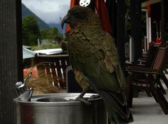 This kea was drinking from a (human) water fountain at the train depot in Arthur's Pass.