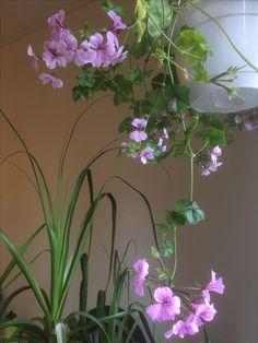 Kaskade pelargonium Tornado Lilac Cadix