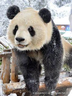"""""""I love when it snows! It's so much fun!"""" pandas, cute pandas"""