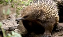 Did you know... They body is covered with spines about 5cm long. Echidnas have fur growing as well, between the spines.