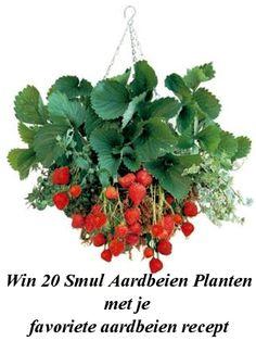 Deze hangingbasket kan straks ook op jouw balkon hangen! Maak kans op 20 aardbeienplanten Ras Korona. De allerlekkerste dus!