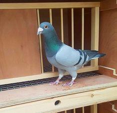 Pigeon Bird, Dove Pigeon, Racing Pigeon Lofts, Pigeon Loft Design, Pigeon Pictures, Pigeon House, Pigeon Breeds, Homing Pigeons, Palomar