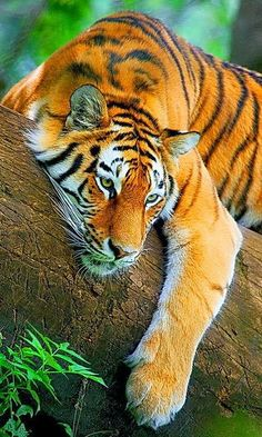 Alluring Planet: Tiger resting on a tree
