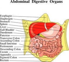 Digestive Organs Medical Diagram clip art  RP by Linda Hammerschmid