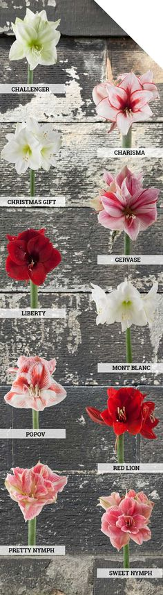 Our TOP 10 Favorite Amaryllis varieties Most Beautiful Flowers, Color Trends, Floral Design, Centerpieces, Design Inspiration, Seasons, Pretty, Holiday, Plants