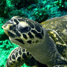 Turtle - he's handsome! - I would DIE if I got to dive with a sea turtle!
