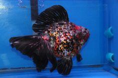 Calico Ryukin from Dandy Orandas Ryukin Goldfish, Comet Goldfish, Goldfish Tank, Colorful Fish, Tropical Fish, Aquariums, Cool Fish, Freshwater Aquarium Fish, Pet Fish
