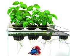 1000 images about aquaponics on pinterest aquaponics for Betta fish aquaponics