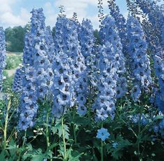 Delphinium Pacific Giant Blue Jay - perennial flower seeds