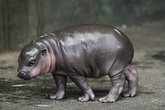Baby Hippos - The Biggest Babies In The Jungle And The Cutest | Viral Buzz Content