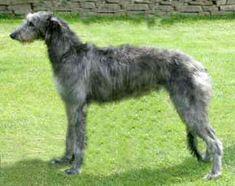 Swedish Deerhounds | Scottish Deerhound ~ Everything Best Dogs