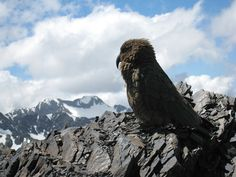 This kea is fluffing up to stay warm on a cold July day in Arthur's pass.