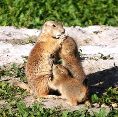 Mother prairie dog comforting pups in Cactus Flats, South Dakota
