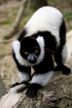 Black and White Ruffed Lemur | Flickr - Photo Sharing!