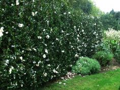 camelia hedge