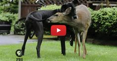 This deer and #dog are best friends, and we couldn't believe it! - https://blog.entirelypets.com/pet-videos/deer-dog-best-friends-couldnt-believe?utm_source=twitter&utm_medium=web&utm_campaign=eptwpostvv