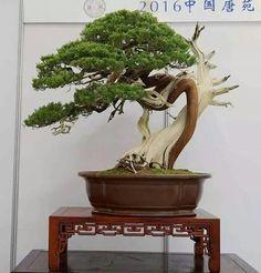 Xian Bonsai Convención Oct. 1St. Picture of Su Fang's Facebook feed.