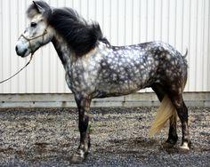 Icelandic horses from the farm Votmúli, South Iceland.