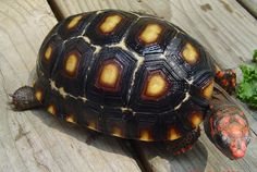 """Red Foot"" Tortoise"