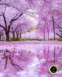 cherry blossom season in Japan Fast Crazy Nature Deals. Cherry Blossom Japan, Cherry Blossom Season, Cherry Blossoms, Cherry Blossom Background, Tree Wallpaper, Nature Wallpaper, Spring Photos, Blossom Trees, Flower Blossom