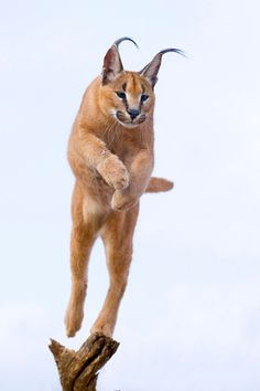 CARACALS.....also called the desert lynx.....live in Africa, southwestern Asia and the Middle East in dry and arid regions.....measure 35 to 39 inches long and weigh 35 to 40 pounds.....20 muscles move ears in various directions and adjust their position to collect even the slightest sound of prey.....can run 50 mph.....able to jump 16 feet in the air to catch a bird in flight....no population estimate available
