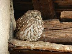 Civetta / Little Owl (Athene noctua) - YouTube