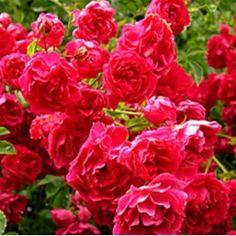 Rambling Rose Excelsa