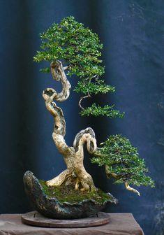 Buxus bonsai jf busquets