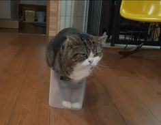 Maru Cat - Yahoo Image Search Results